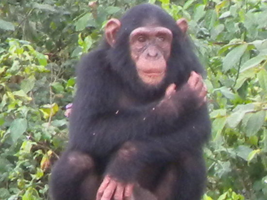 أوربان باي سيتي بلو كامبالا: A cheeky monkey (ape) at Ngamba Island