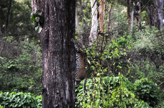 Srimangala, India: Leopard spotted at masinagudi enroute to ooty