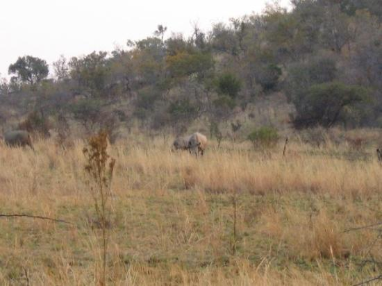 Pilanesberg National Park, แอฟริกาใต้: The first of 9 Rhinos seen in 30 mins