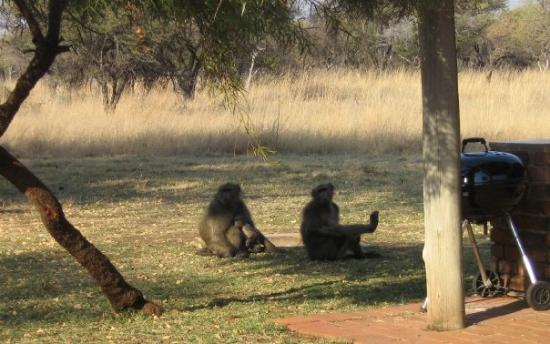 "Pilanesberg National Park, แอฟริกาใต้: Baboons in our ""back garden""