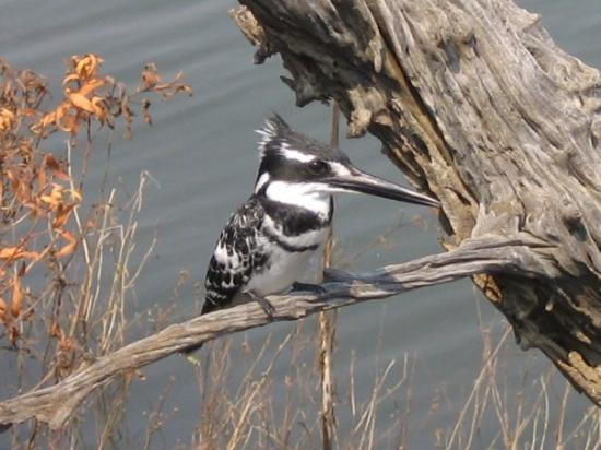 Pilanesberg National Park, แอฟริกาใต้: Pied Kingfisher