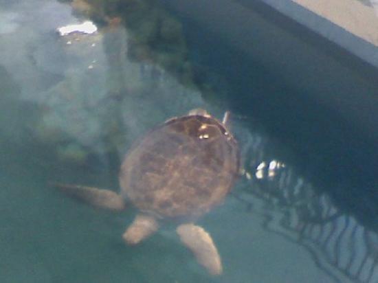 เคลียร์วอเทอร์, ฟลอริด้า: rescued sea turtle at clearwater aquarium . my nephew works with these turtles.
