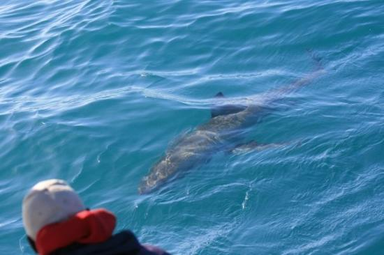 ใจกลางเมืองเคปทาวน์, แอฟริกาใต้: Great (at least OK) White Shark