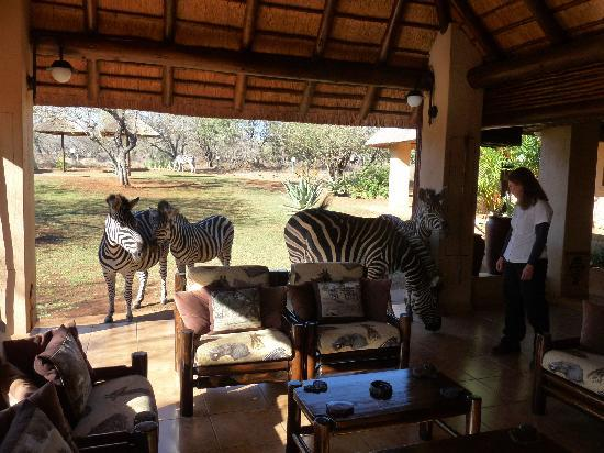 Royal Kruger Lodge: Taking an afternoon break after the morning game drive.