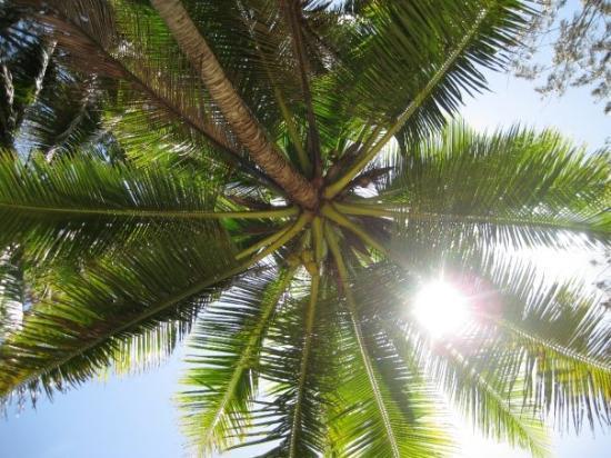 โออาฮู, ฮาวาย: Palm Tree, North Shore Oahu