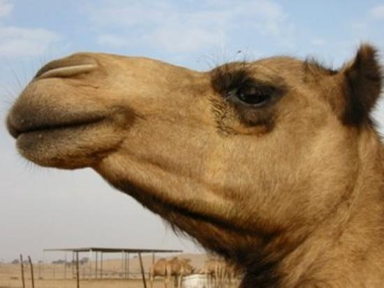 Mother caml at Al Ain