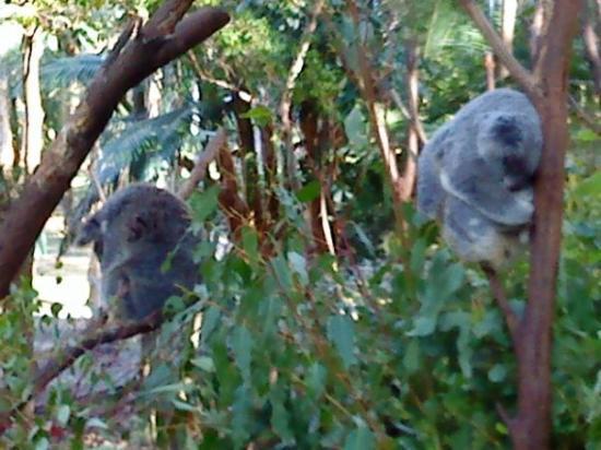 เซิร์ฟเฟอร์สพาราไดซ์, ออสเตรเลีย: Koala Bear, Currumbin Wildlife Sanctuary, Australia