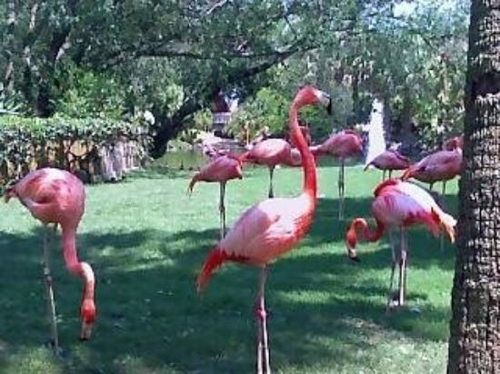 บุช การ์เด้นส์: flamingo @ busch gardens tampa