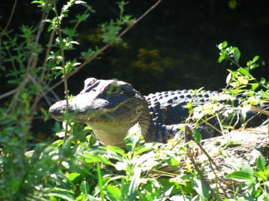 ฟอร์ตไมเออร์, ฟลอริด้า: i love this pic w/ how the sun was hitting a different alligator in the same swamp