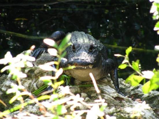 ฟอร์ตไมเออร์, ฟลอริด้า: a baby alligator in the swamp