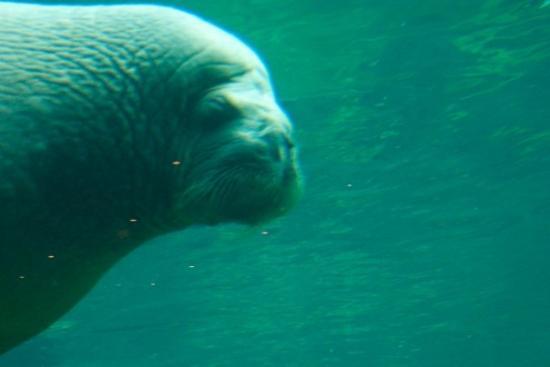 Dolfinarium: Walrussen