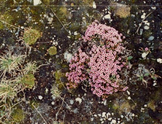 """ลองเยียร์เบียน, นอร์เวย์: Rødsildre.  Blommorna var små, men växte i klasar. En del hade anpassat sig efter den korta """"s"""