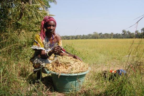 """Bissau, กินีบิสเซา: mujer trabajando en la """"bulaña"""""""