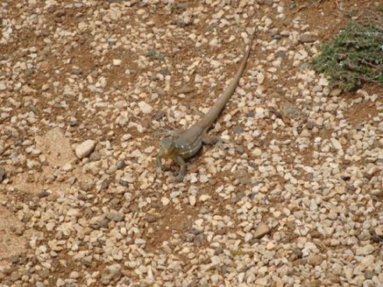 คูราเซา: Lizard (3)