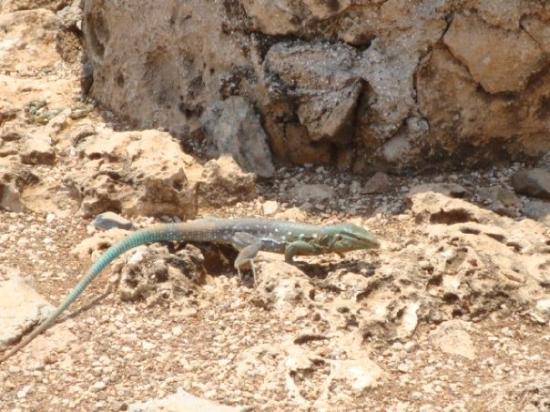 คูราเซา: Lizard (2)