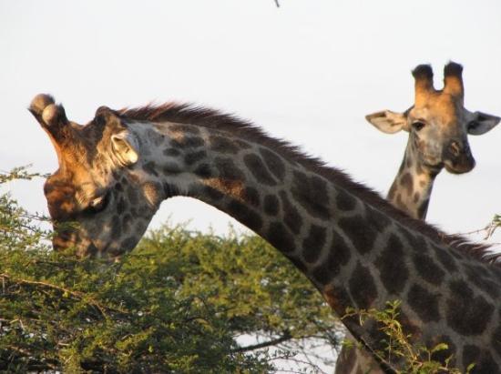 อุทยานแห่งชาติครูเกอร์, แอฟริกาใต้: Salut les filles !!!