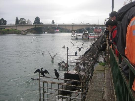 Feria fluvial río Valdivia.