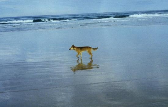 เกาะแฟรเซอร์, ออสเตรเลีย: Wild Dingo  Fraser Island Queensland