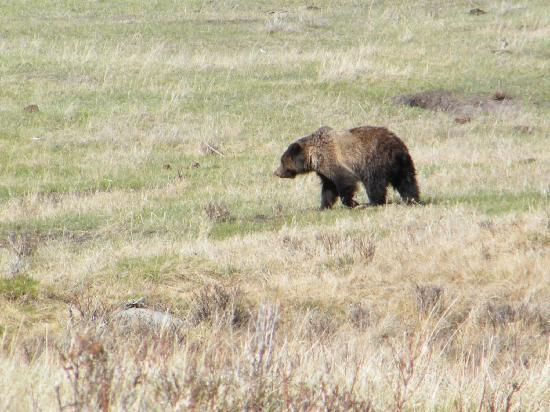 The Lexington at Jackson Hole Hotel & Suites: 1 of 3 grizzlies we saw