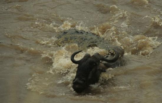 เขตอนุรักษ์แห่งชาติมาไซมารา, เคนยา: River crossing.... Almost not.