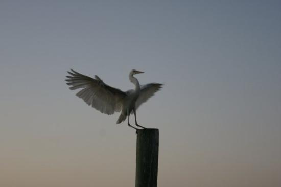 Key Largo, ฟลอริด้า: Landed right beside me while I was taking Sunset photos