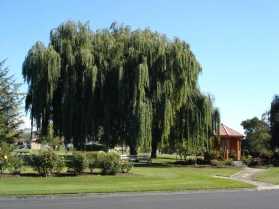 Beautiful willow in New Norfolk gardens