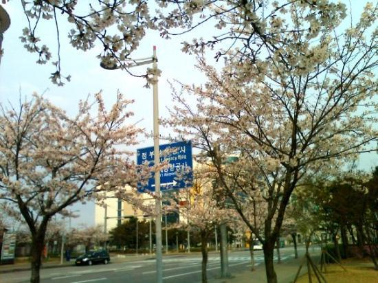 韓國的櫻花已經開了 正啊 Bilde Av Incheon I S 248 R Korea Tripadvisor