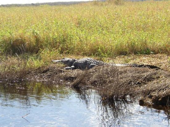 เคปคานาเวอรัล, ฟลอริด้า: gator