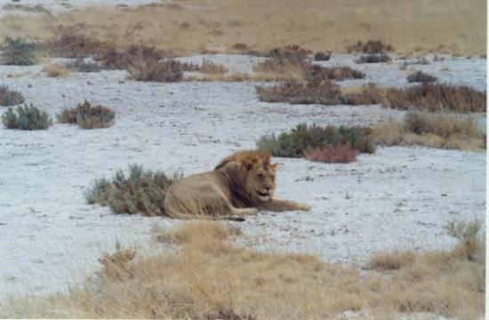 วินด์ฮุก, นามิเบีย: Lion