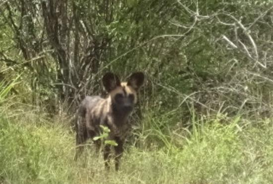 Tsavo National Park West, เคนยา: Wilddog - the biggest surprise of the day!