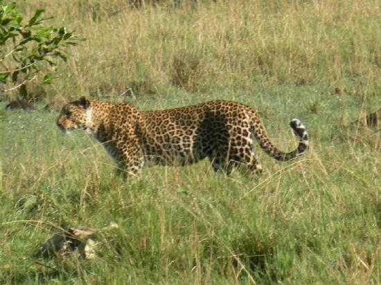 Serian Safari: Leopard at Serian
