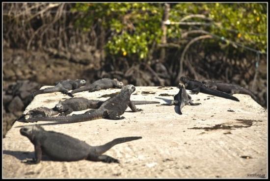 ปวยร์โตอาโยรา, เอกวาดอร์: Leguán galapážský, jako téměř všechno na těchto ostrovech je endemico, tedy pouze zde vyskytujíc