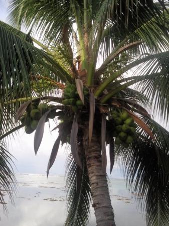 Punaauia, Polynésie française : COCOTIER