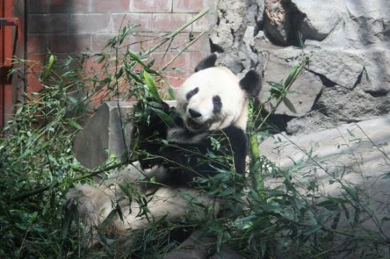 Giant Panda Breeding Research Base (Xiongmao Jidi) ภาพถ่าย