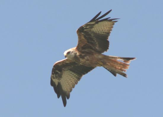 Ken Bridge Hotel: Red Kite