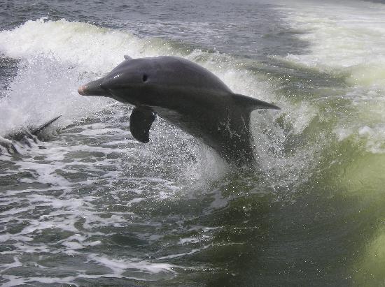 เกาะซานิเบล, ฟลอริด้า: dolphin