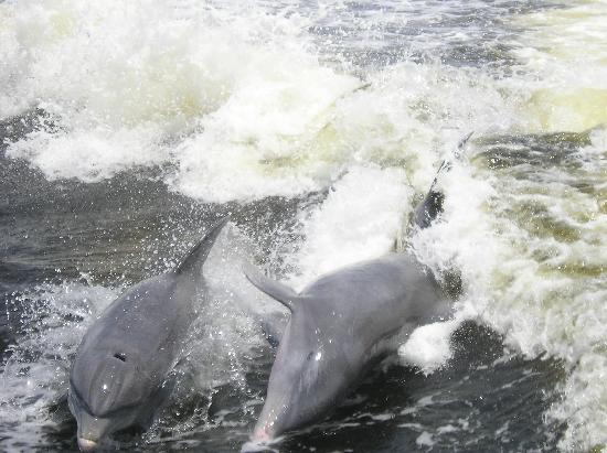 เกาะซานิเบล, ฟลอริด้า: double dolphin