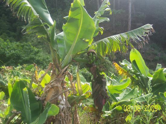 Quinta do Lagar : ..... et des bananes