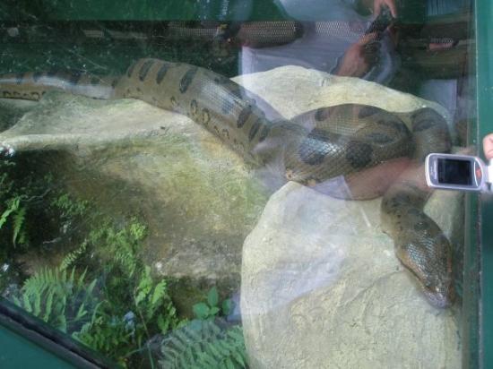 Anaconda en el Parque Los Ocarros de Villavicencio