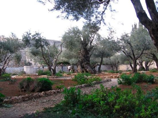 Garden of Gethsemane: Gethsemane.  It actually looks bigger in these pictures than it really is.  I was right up again