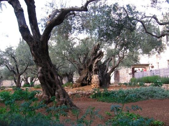 Garden of Gethsemane: Sweet super-old trees in Gethsemane.
