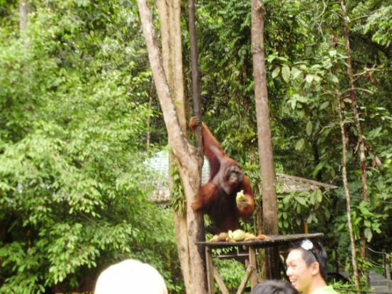 กูชิง, มาเลเซีย: The only male orang utans, giving us a visits... all the other younger orang utans were hiding w