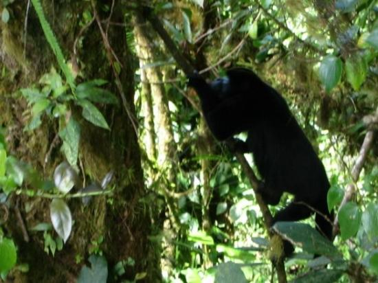 Monteverde Cloud Forest Reserve, คอสตาริกา: A howling monkey at the Monteverde Park.