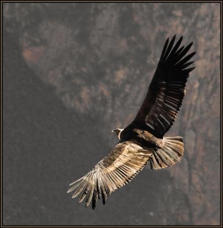 Colca Canyon (หุบเขากอลกา), เปรู: Female Condor