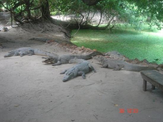 Bakau, แกมเบีย: Crocs! :]