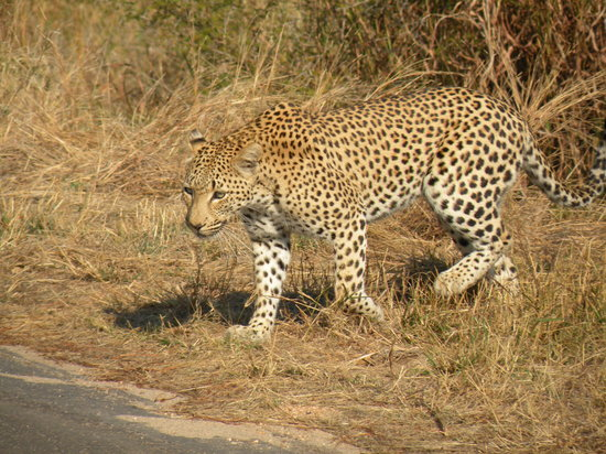 Jock Safari Lodge : Leopardo