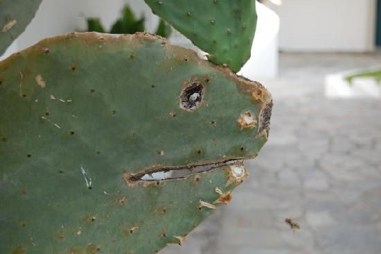 Ammos Hotel: kaktus