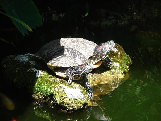 Hotel Villa Schuler: Schildkrötenteich