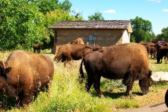 Buffalo Gap Guest Ranch and Trail Head: Buffalo at 5 miles away at TRNP
