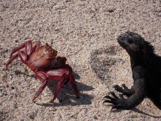 Crab meets marine iguana, Santa Cruz